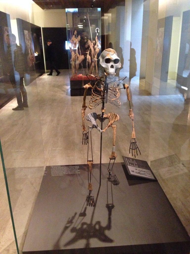 Esqueleto reconstruido de Australopithecus afarensis.